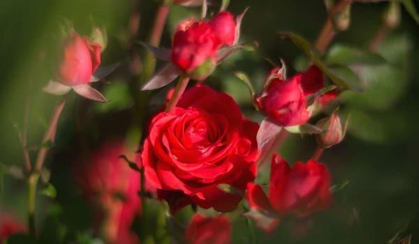 Image of a rose garden